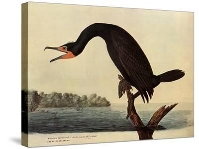 Cormorant-John James Audubon-Stretched Canvas Print