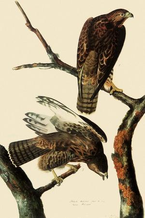 Harlan's Hawks-John James Audubon-Framed Giclee Print