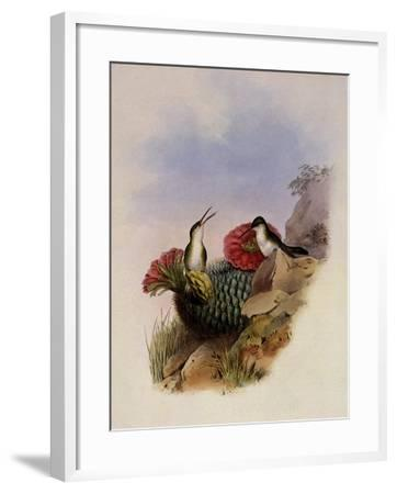 White-Breasted Leucippus, Leucippus Chionogaster-John Gould-Framed Giclee Print