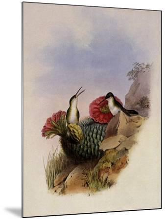 White-Breasted Leucippus, Leucippus Chionogaster-John Gould-Mounted Giclee Print