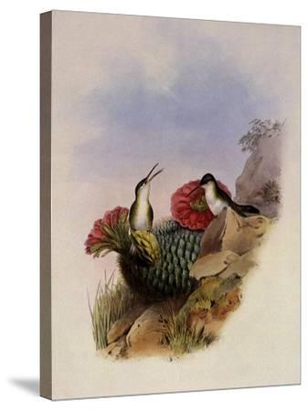 White-Breasted Leucippus, Leucippus Chionogaster-John Gould-Stretched Canvas Print