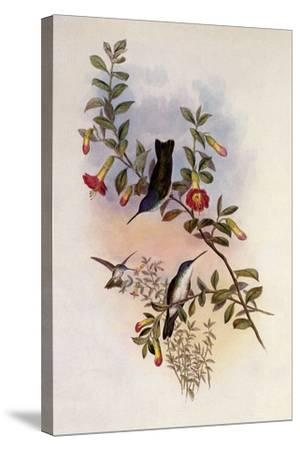 Blue-Necked Azure-Crown, Cyanomyia Cyanocollis-John Gould-Stretched Canvas Print