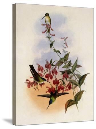 Francia's Azure-Crown, Cyanomyia Franci�-John Gould-Stretched Canvas Print