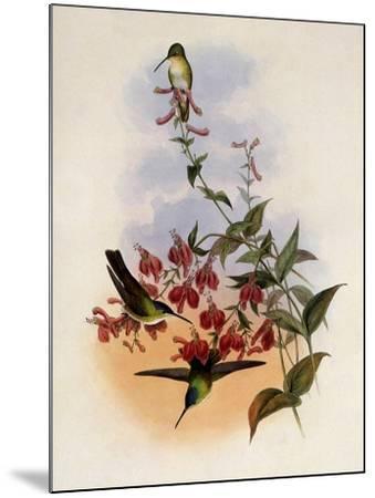 Francia's Azure-Crown, Cyanomyia Franci�-John Gould-Mounted Giclee Print