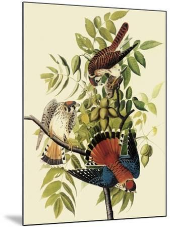 Sparrow Hawks-John James Audubon-Mounted Giclee Print