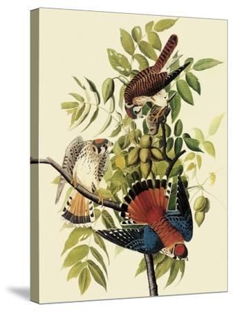 Sparrow Hawks-John James Audubon-Stretched Canvas Print
