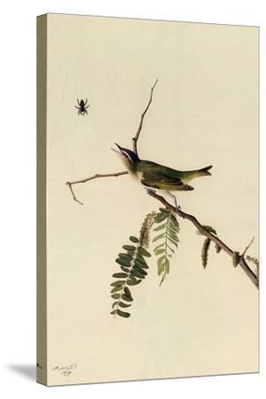 Red-Eyed Vireo-John James Audubon-Stretched Canvas Print