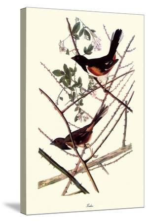 Towhee-John James Audubon-Stretched Canvas Print