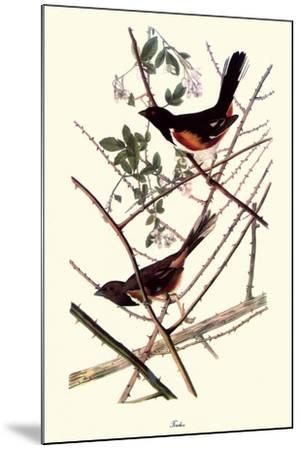 Towhee-John James Audubon-Mounted Giclee Print