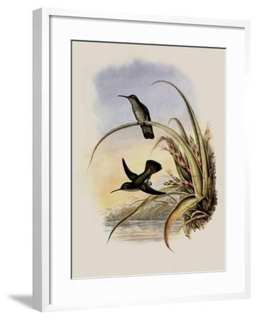 Spotted-Breasted Hummingbird, Aphantochroa Hyposticta-John Gould-Framed Giclee Print