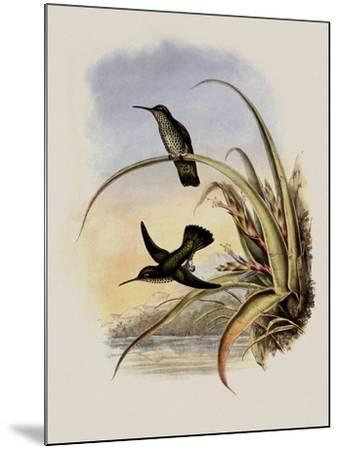 Spotted-Breasted Hummingbird, Aphantochroa Hyposticta-John Gould-Mounted Giclee Print