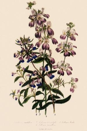 Collinsia--Stretched Canvas Print