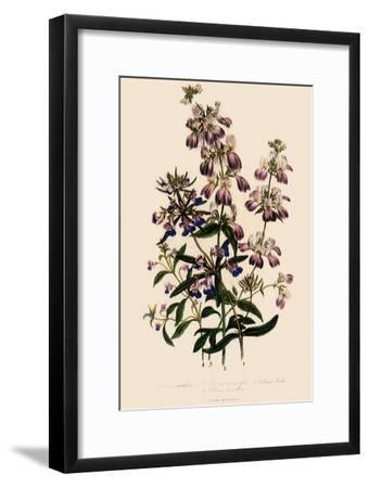 Collinsia--Framed Giclee Print