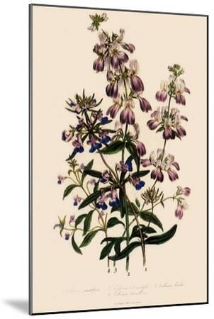 Collinsia--Mounted Giclee Print