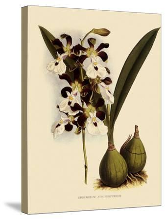 Epidendrum Atropurpureum-John Nugent Fitch-Stretched Canvas Print