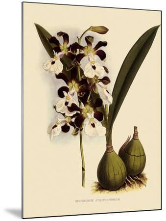 Epidendrum Atropurpureum-John Nugent Fitch-Mounted Giclee Print