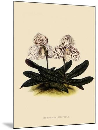 Cypripedium Godefroyae-John Nugent Fitch-Mounted Giclee Print