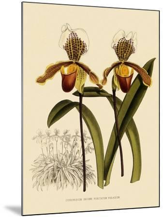 Cypripedium Insigne Punctatum Violaceum-John Nugent Fitch-Mounted Giclee Print
