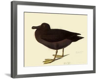 Sooty Albatross-John James Audubon-Framed Giclee Print
