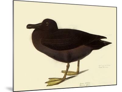 Sooty Albatross-John James Audubon-Mounted Giclee Print