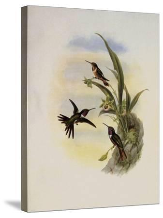 Bryant's Wood-Star, Doricha Bryant�-John Gould-Stretched Canvas Print