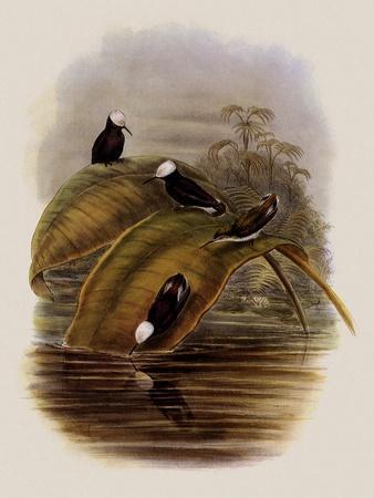 Purple Snowcap, Microchera Parvirostris-John Gould-Framed Giclee Print