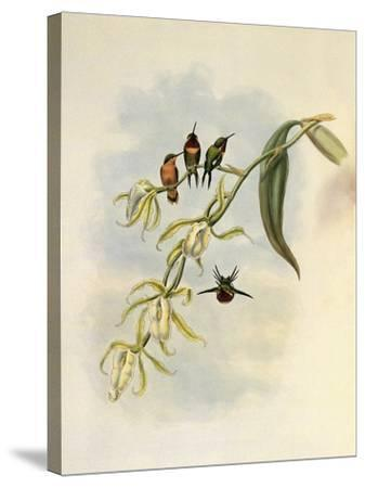 Little Wood-Star, Ch�tocercus Bombus-John Gould-Stretched Canvas Print