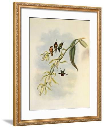 Little Wood-Star, Ch�tocercus Bombus-John Gould-Framed Giclee Print