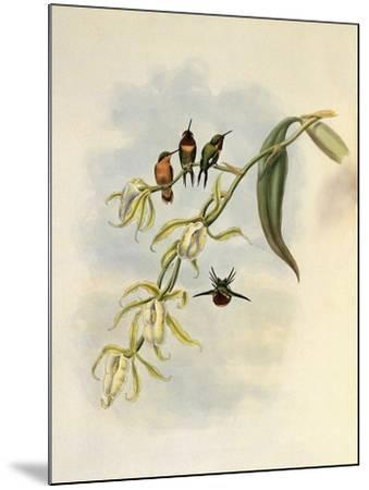 Little Wood-Star, Ch�tocercus Bombus-John Gould-Mounted Giclee Print