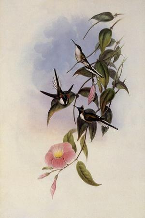 Sun Gem, Heliactin Cornuta-John Gould-Framed Giclee Print