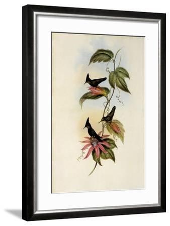 Green and Blue Crest, Orthorhynchus Ornatus-John Gould-Framed Giclee Print