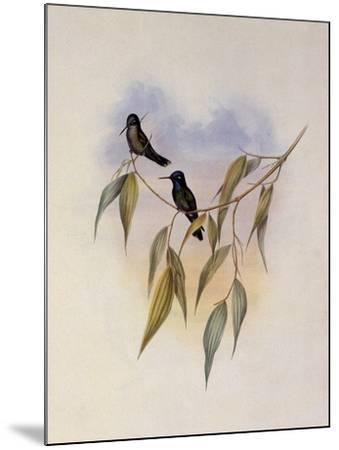 Guimet's Flutterer, Klais Guimeti-John Gould-Mounted Giclee Print