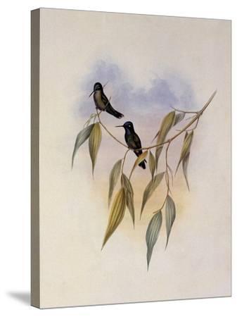 Guimet's Flutterer, Klais Guimeti-John Gould-Stretched Canvas Print