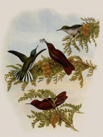 Cinnamon Firecrown, Eustephanus Fernandensis-John Gould-Stretched Canvas Print