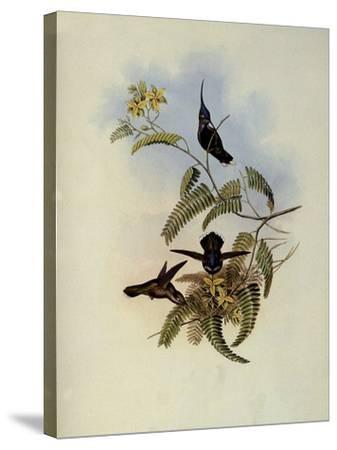 Loddiges' Plover-Crest, Cephalepis Loddigesi-John Gould-Stretched Canvas Print