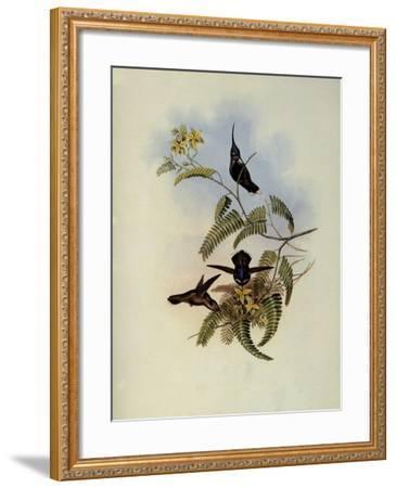 Loddiges' Plover-Crest, Cephalepis Loddigesi-John Gould-Framed Giclee Print