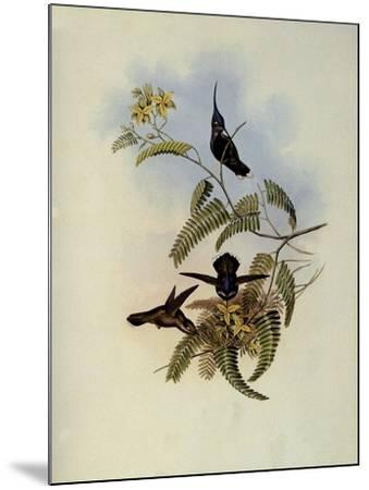 Loddiges' Plover-Crest, Cephalepis Loddigesi-John Gould-Mounted Giclee Print