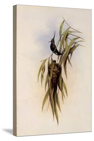 De Lalande's Cephalepis Delalandi-John Gould-Stretched Canvas Print