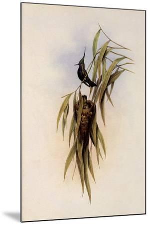 De Lalande's Cephalepis Delalandi-John Gould-Mounted Giclee Print