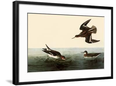 Northern Phalaropes-John James Audubon-Framed Giclee Print