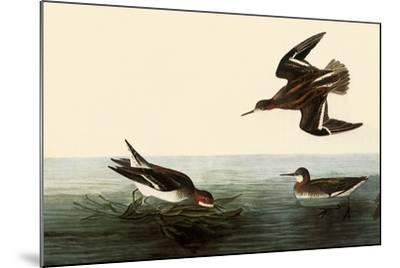 Northern Phalaropes-John James Audubon-Mounted Giclee Print