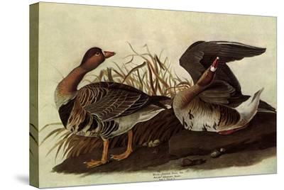 White-Fronted Goose-John James Audubon-Stretched Canvas Print