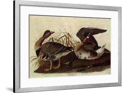 White-Fronted Goose-John James Audubon-Framed Giclee Print