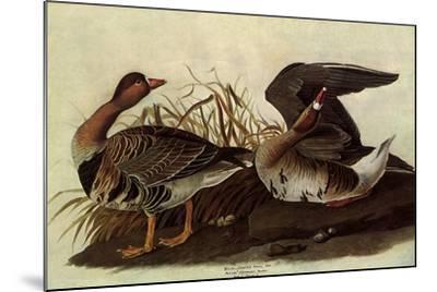 White-Fronted Goose-John James Audubon-Mounted Giclee Print