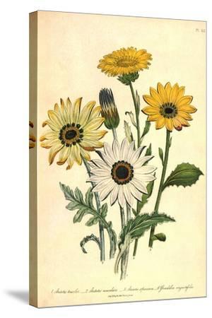 Grindelia Flowers--Stretched Canvas Print
