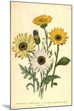 Grindelia Flowers--Mounted Giclee Print