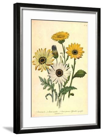 Grindelia Flowers--Framed Giclee Print