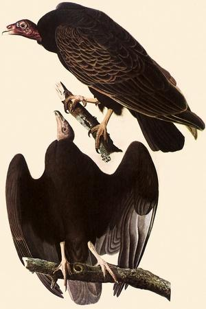 Turkey Vultures-John James Audubon-Framed Giclee Print