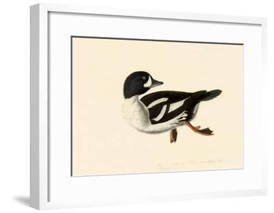 Goldeneye-John James Audubon-Framed Giclee Print