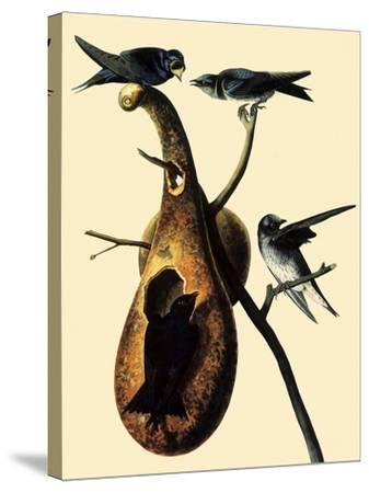 Purple Martins-John James Audubon-Stretched Canvas Print